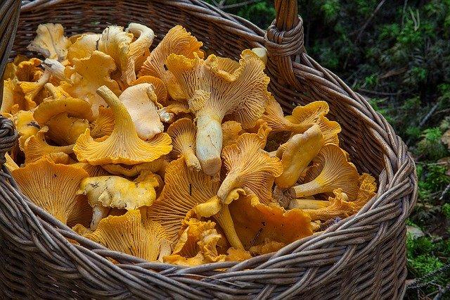 La saison de cueillette des champignons commence : restez vigilants face aux risques d'intoxications !